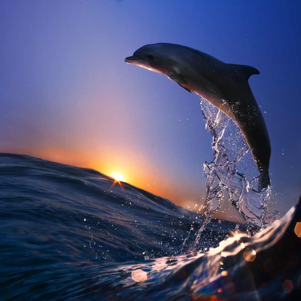 dolphin leaping from water